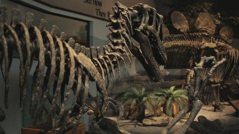 Medium Shot Pan Dinosaur's skeletons in natural history museum