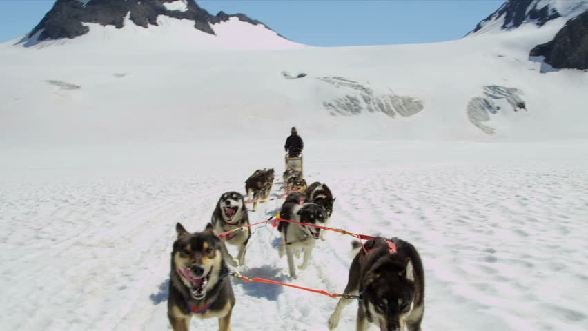 Alaskan Malamute dogs used for dog sled adventures, USA - Working Alaskan Malamute dogs with high endurance they are frequently used for tours and dog sled adventures, USA, RED EPIC