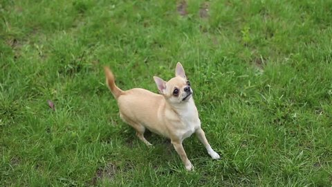 short haired chihuahua jumping on two legs and asks treat- tripod, 1920x1080