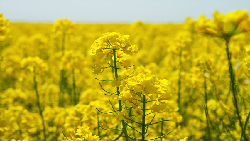 Canola flower, rape crop, background