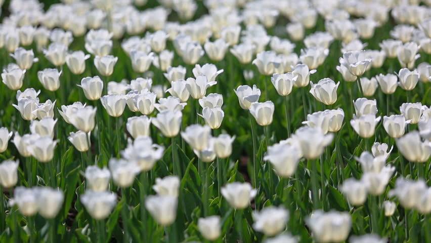 Field of white tulips blooming - rack focus | Shutterstock HD Video #6385241