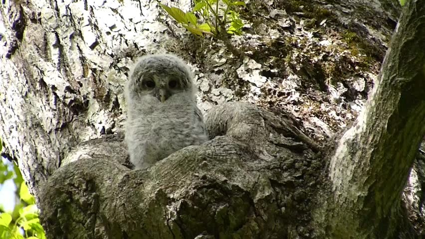 """Owl cute face. -27 / Shooting date; May 29, 2014. Location: """"Shinrinkouen"""" Hokkaido, Japan /  Baby owl bathing in the morning sun.  """"Ezofukurou"""" species name. Owl Japan cute face"""