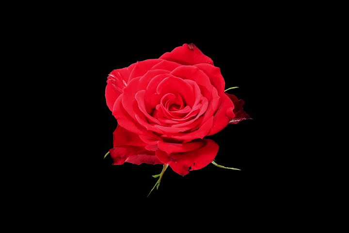 4K. Blooming red roses flower buds ALPHA matte, Ultra HD. (Rose Red Magic) (Time Lapse), 4096x2730.