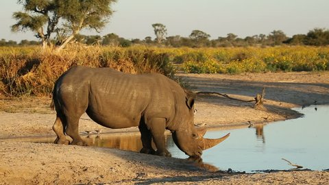 White (square-lipped) rhinoceros (Ceratotherium simum) drinking at a waterhole, South Africa