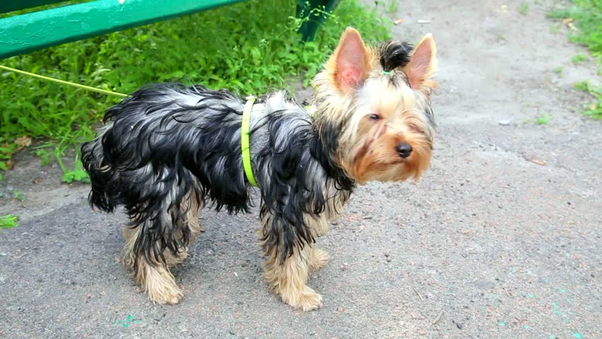 Barking Yorkshire Terrier Puppy 5 Stock Footage Video 100 Royalty