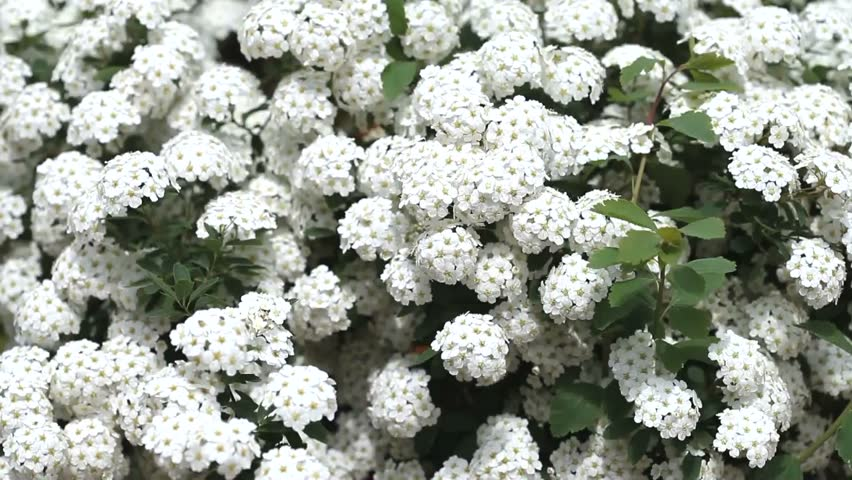 White flowers bed are trembling in the wind stock footage video white flowers bed are trembling in the wind hd stock video clip mightylinksfo