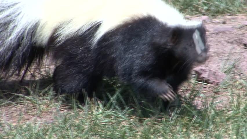 Striped Skunk Adult Lone Foraging Summer Black White   Shutterstock HD Video #6487934