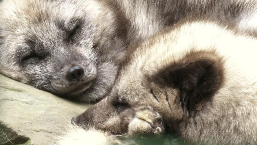 Arctic Fox Vulpes Lagopus Pair Stock Footage Video 100 Royalty