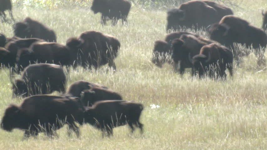 Bison Herd Running Fall Stampede