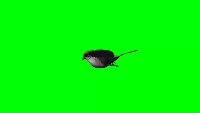 bird sparrow is flying - green screen