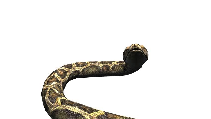 Snake & jungle carpet python open mouth attack,sliding decorative non venomous,wild animal herpetology background. cg_01974
