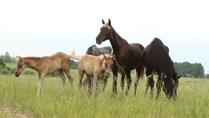 Horses with foals in the pasture | Shutterstock HD Video #6537881