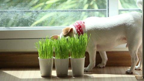 Chiwawa puppy eating wheat grass