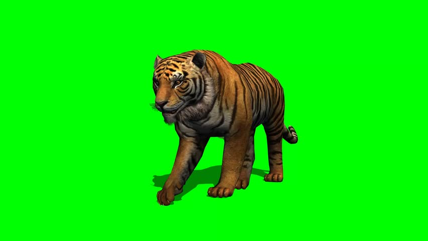Tiger Walks On Green Screen Stock Footage Video (100% Royalty-free) 6620141  | Shutterstock