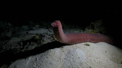 Alien looking sea cucumber standing upright at night underwater in Apo Island, Philippines