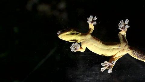 Turnip tailed gecko (Thecadactylus solimoensis) underside of sticky feet viewed while climbing on glass, Ecuador.