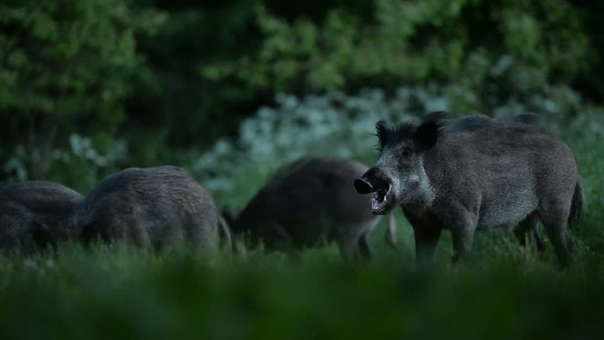Wild boars eating - HD stock footage clip