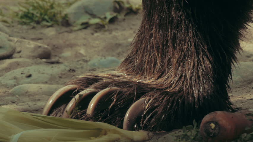Bear claws - extreme closeup in 4K