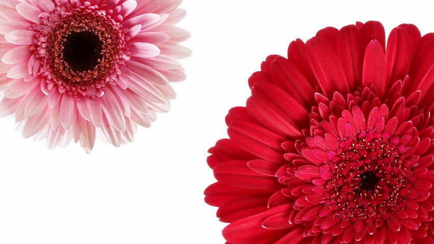 Pink flower free video clips 238 free downloads two flowers rotation mightylinksfo
