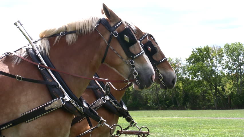 HD two Belgian Draft horses decorated in medieval dress