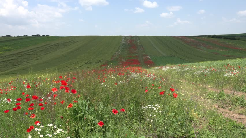 Ultra HD 4K Red Poppies on Agriculture Field in Farmland, View of Flowers on Meadow in Countryside, Rural, Rustic Summer Landscape, Background | Shutterstock HD Video #7006741