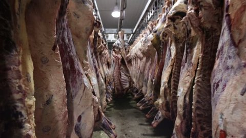 slaughter butcher house hanging beef in freezer
