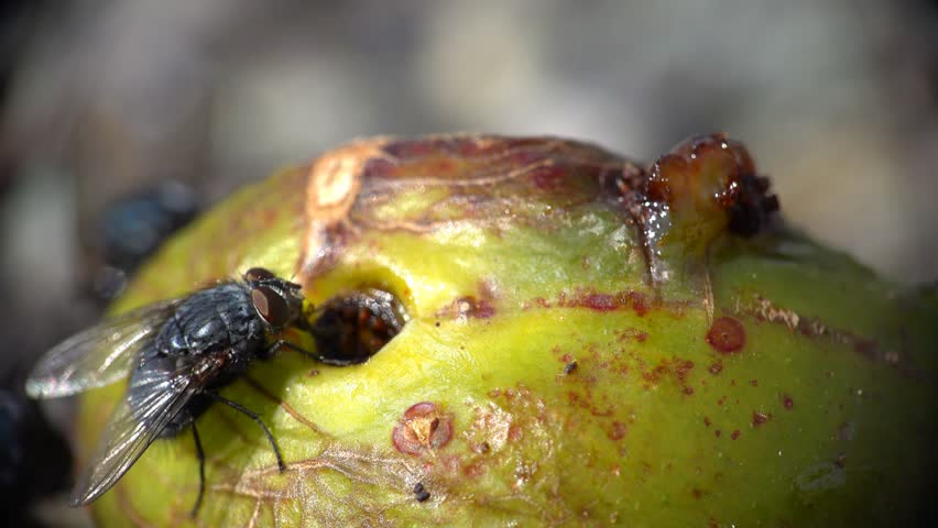 Insects Bugs Fly Eating Rotting Fruit - (Extreme Closeup Macro) - Wildlife and Countryside Backgrounds