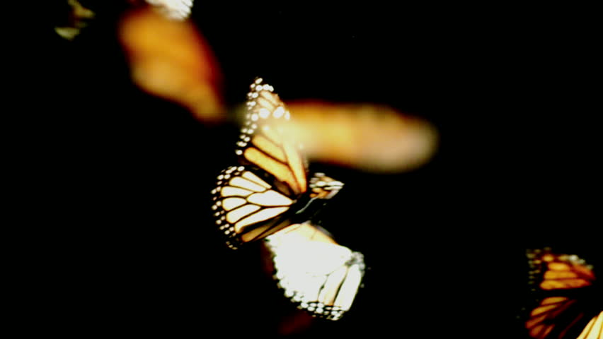 Monarch butterflies dance in and out of frame on a black background, part 3.