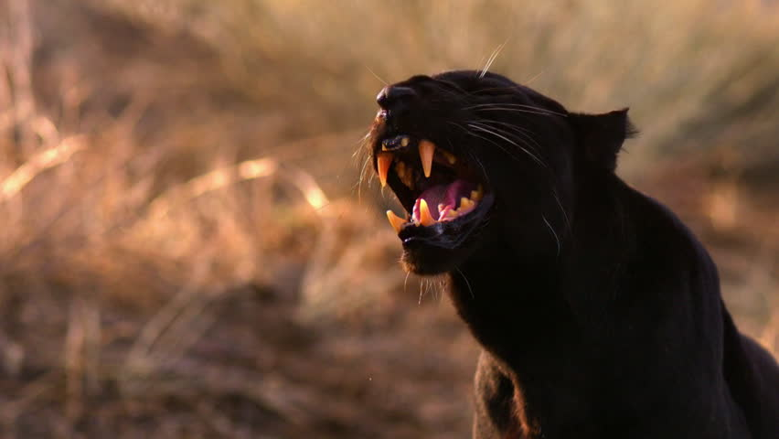 A black leopard, aka panther, growls ferociously.