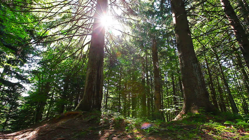 morning in the forest. the sun's rays pass through trees #7176211