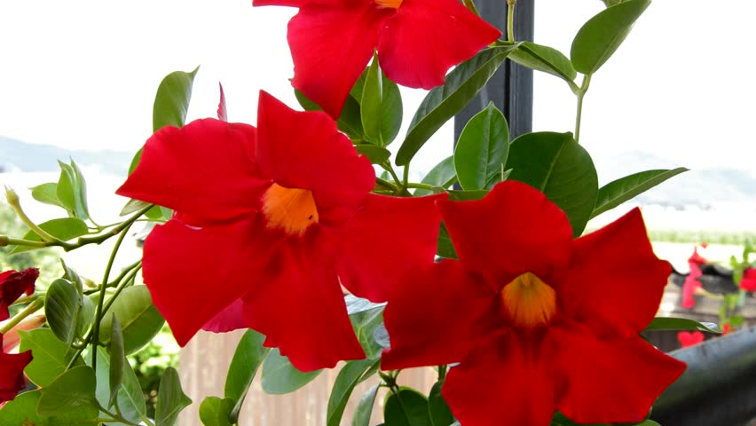 Header of mandevilla