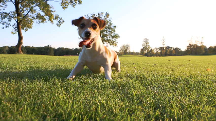 funny dog look excited dancing waits for a command aport. Carries a frisbee. Jack Russell Terrier playing #7213711
