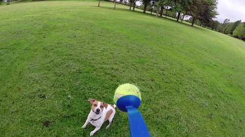 Jack Russell Terrier jumping for tennis ball - slow motion of dog playing