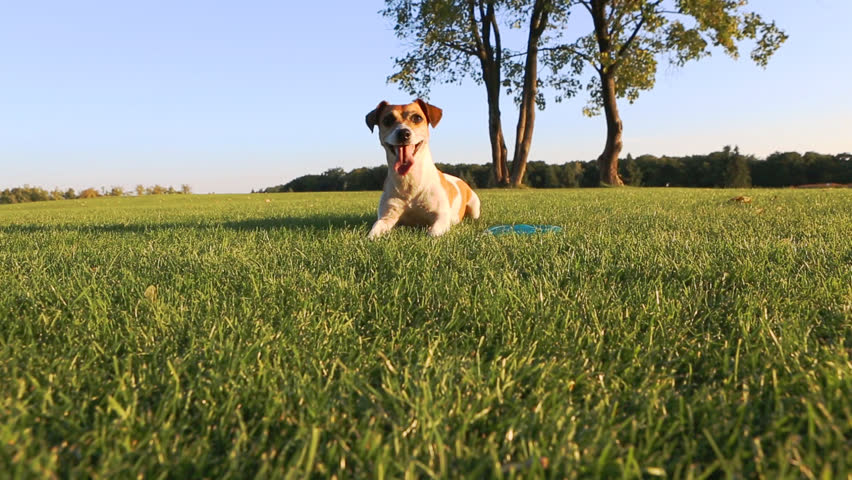 Happy wellness dog life. Young healthy active Jack Russell Terrier playing outdoors #7270891