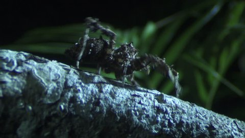 Close up of a Portia Spider crawling on a branch in the dark