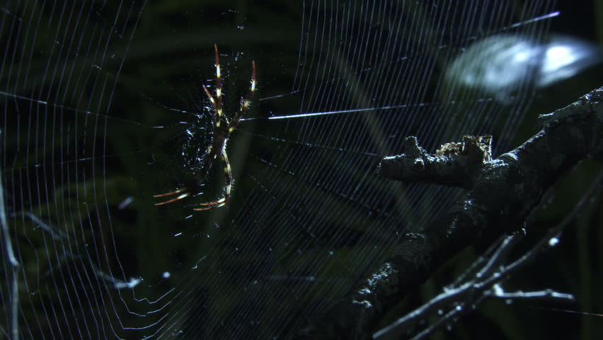 Portia Spider attacking a St Andrew's Cross Spider on its web