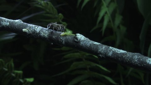 Green Jumping Spider defending itself against a Portia Spider on a branch