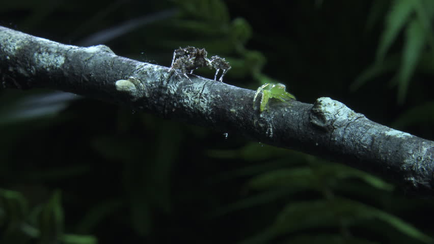 Green Jumping Spider and Portia Spider on a branch