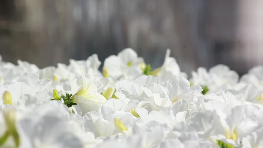 Beautiful shot of flowers with people walking background. | Shutterstock HD Video #7355101