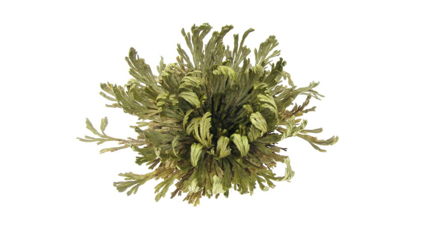 Time-lapse of opening Rose of Jericho, Resurrection Plant (false Anastatica hierochuntica) 2x2 in UHD 4K format. Put dried Rose of Jericho plant into the water and it opens.