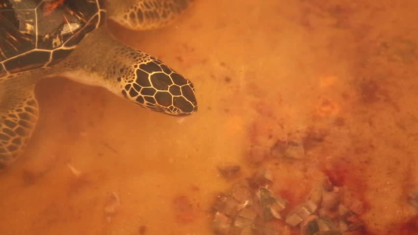 Adult Turtle Swimming in Pool Stock Footage Video (100% Royalty-free)  7373791 | Shutterstock