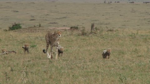 cheetah mother walks with her cubs.