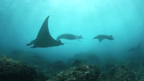Manta rays (Manta alfredi) glide over a rocky reef near the island of Nusa Penida close to Bali, Indonesia. Mantas seasonally migrate to this area to mate and be cleaned of parasites by reef fish.