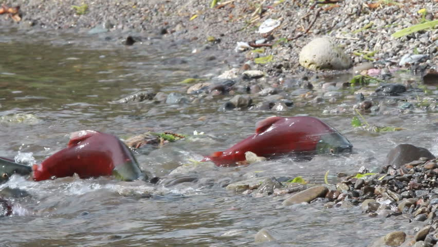 Spawning Salmon swimming | Shutterstock HD Video #7516951