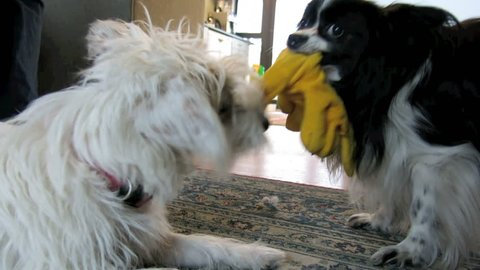 Two small pet dogs play fighting tug of war over soft toy