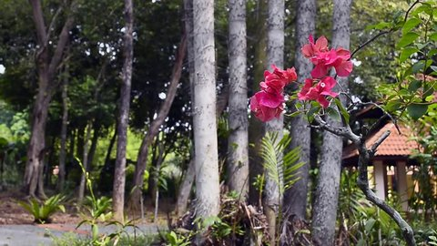 Bougainvillea flowers at public park.
