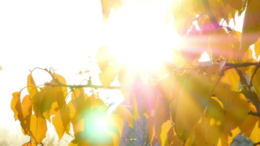 Yellow leaves blow in the wind backlit by the sun  | Shutterstock HD Video #7619551