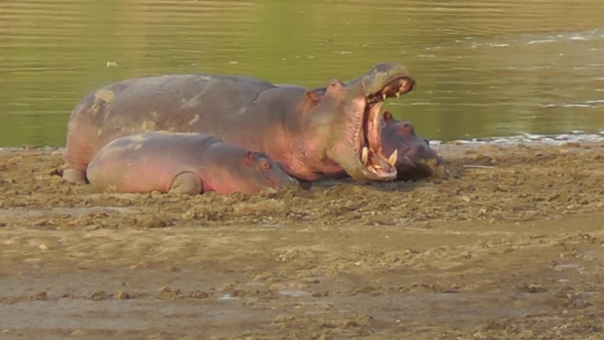 Adult Hippo yawning while lying on the river bank with two young hippos
