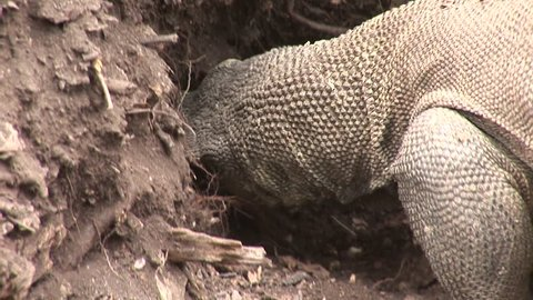 Komodo Dragon robs another's nest and eats an egg.