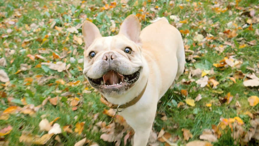 French Bulldog dog walking in autumn leaves, tracking shot